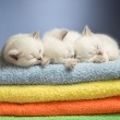 Three sleeping british baby kittens on colorful towels — Stock Photo #20354601