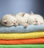 Three sleeping british baby kittens on colorful towels — Stock Photo