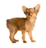 Winking Russian toy terrier puppy — Stock Photo