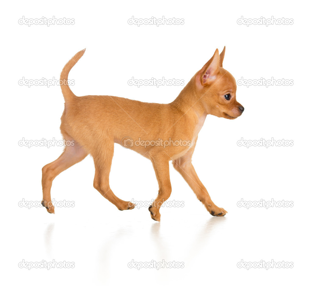 running toy terrier dog side view stock photo andrey kuzmin 20477835. Black Bedroom Furniture Sets. Home Design Ideas