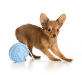 Russian toy terrier puppy playing wool ball — Stock Photo