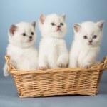Three white British kittens in basket — Stock Photo #21225547