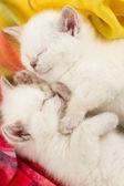 Dois britânicos bebê gatinho a dormir — Foto Stock