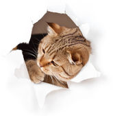 Cat in paper side torn hole isolated — Foto de Stock