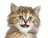 Tortoiseshell kitten closeup portrait — Stock Photo