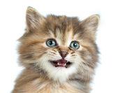Tortoiseshell kitten closeup portrait — Stock Photo