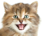 Meowing cat or kitten closeup portrait — Stock Photo
