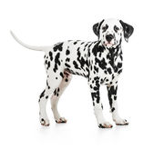 Standing Dalmatian dog isolated on white — Stock Photo