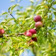 Apple tree brunch — Stock Photo