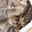 3 week sleeping baby kitten portrait — Stock Photo