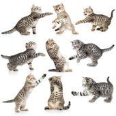 Tabby kittens isolated collection — Stock Photo
