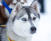 Siberian husky dog portrait — Stock Photo