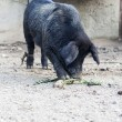 Black pig — Stock Photo #16830651