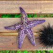 Sea urchin, echinus and starfish — Stock Photo