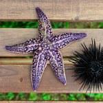 Sea urchin, echinus and starfish — Stock Photo #12481296