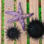 Sea urchin, echinus and starfish — Stock Photo #12481312