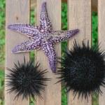 Sea urchin, echinus and starfish — Stock Photo #12481487