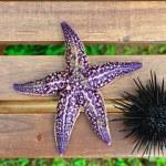 Sea urchin, echinus and starfish — Stock Photo #12481509