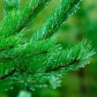 Morning in the forest - dew drops on needles of spruce branches - Stock Photo