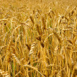 Autumn landscape - a golden field of rye — Stock Photo