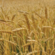 Autumn landscape - a golden field of rye - Stock Photo