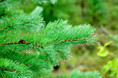 Morning in the forest - dew drops on needles of spruce branches — Stock Photo