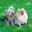 Spitz, Pomeranian dog and Yorkshire Terrier in city park — Stock Photo #13264595