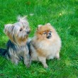 Spitz, Pomeranian dog and Yorkshire Terrier in city park - Stock Photo