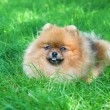 Spitz, Pomeranian dog in city park - Stock Photo