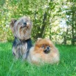 Spitz, Pomeranian dog and Yorkshire Terrier in city park — Stock Photo #13264670