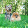 Spitz, Pomeranian dog and Yorkshire Terrier in city park — Stock Photo