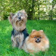 Spitz, Pomeranian dog and Yorkshire Terrier in city park — Stock Photo #13264757