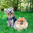 Spitz, Pomeranian dog and Yorkshire Terrier in city park — Stock Photo #13264848