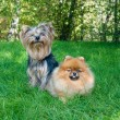 Spitz, Pomeranian dog and Yorkshire Terrier in city park — Stock Photo #13264885