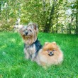 Spitz, Pomeranian dog and Yorkshire Terrier in city park — Stock Photo #13264939