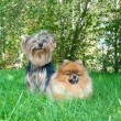 Spitz, Pomeranian dog and Yorkshire Terrier in city park — Stockfoto