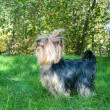 Stock Photo: Yorkshire Terrier in city park