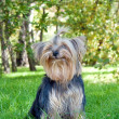 Yorkshire Terrier in city park - Stock Photo
