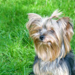 Yorkshire Terrier in city park — Stock Photo
