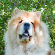 Chow-Chow dog in the city park — Photo