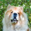 Royalty-Free Stock Photo: Chow-Chow dog in the city park