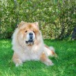 Chow-Chow dog in the city park — 图库照片