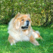 Chow-Chow dog in the city park — Stok fotoğraf