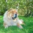 Chow-Chow dog in the city park — Stok fotoğraf #13265991