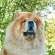 Chow-Chow dog in the city park — Stock Photo