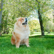 Foto Stock: Chow-Chow dog in the city park