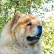 Chow-Chow dog in the city park — Stockfoto