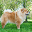 Chow-Chow dog in the city park — Stok fotoğraf #13266101