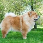 Chow-Chow pes v městském parku — Stock fotografie