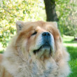 Chow-Chow dog in the city park — ストック写真